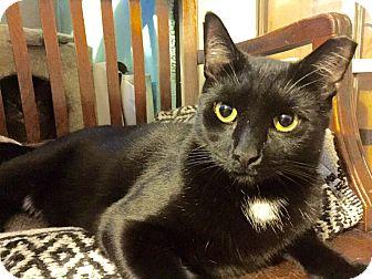 Bombay Cat for adoption in New York, New York - STINGO-Hidden Treasure Kitty