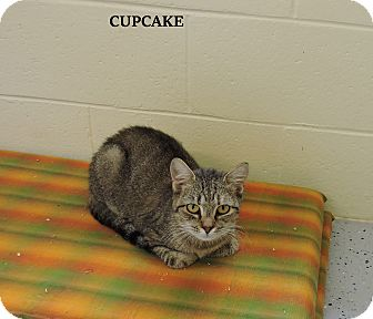 Domestic Shorthair Cat for adoption in Washington, Georgia - Cupcake