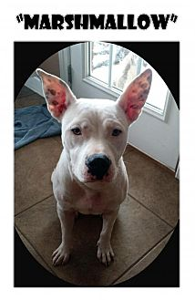 American Pit Bull Terrier Dog for adoption in Madison, Alabama - Marshmallow