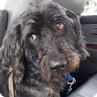 Adopt A Pet :: Bentley - Salem, OR