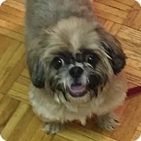 Shih Tzu Dog for adoption in Schaumburg, Illinois - Max-adoption pending