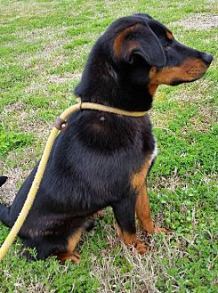 Dalmatian/Basset Hound Mix Dog for adoption in Jefferson, Texas - Brandi