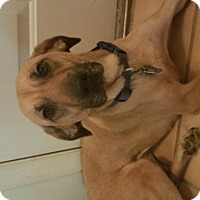 Labrador Retriever/Rhodesian Ridgeback Mix Dog for adoption in Doylestown, Pennsylvania - Ruby
