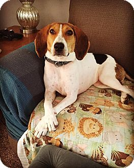Beagle/Treeing Walker Coonhound Mix Dog for adoption in St John, Indiana - Addie