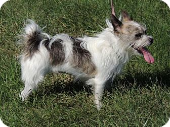 Yorkie, Yorkshire Terrier/Standard Schnauzer Mix Dog for adoption in Andover, Connecticut - LITTLE LOLA