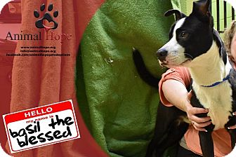 Border Collie Dog for adoption in Fort Worth, Texas - Basil the Blessed