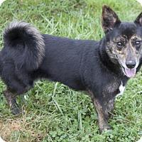 Welsh Corgi/Cardigan Welsh Corgi Mix Dog for adoption in Bedford, Indiana - Carla