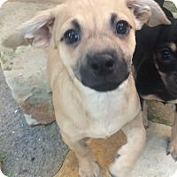 Adopt A Pet :: Bruno - Overland Park, KS