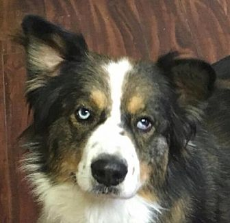 Australian Shepherd/Border Collie Mix Dog for adoption in Modesto, California - Rango