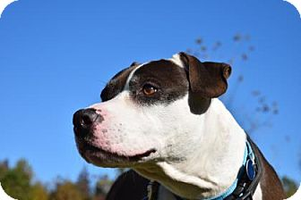 Pit Bull Terrier Mix Dog for adoption in Gloucester, Virginia - PETE