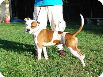 Boxer Dog for adoption in Louisville, Kentucky - HOWARD
