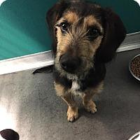 Adopt A Pet :: Maverick - Idaho Falls, ID