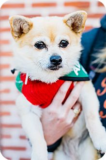 Pomeranian/Chihuahua Mix Dog for adoption in Los Angeles, California - Kiwi