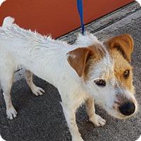 Adopt A Pet :: Stella - Rocky Hill, CT