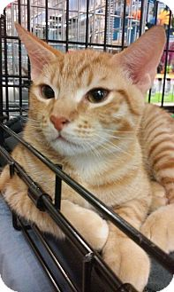 Domestic Shorthair Cat for adoption in Yorba Linda, California - Garfield