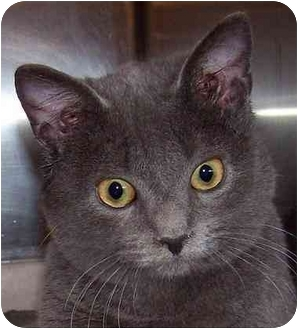 Russian Blue Cat for adoption in Annapolis, Maryland - Dolce