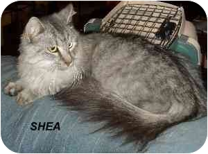 Domestic Longhair Cat for adoption in Jacksonville, Florida - Shea