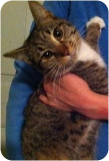 American Shorthair Kitten for adoption in Simpsonville, South Carolina - Miss