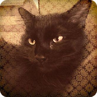 Domestic Longhair Cat for adoption in St. Louis, Missouri - Shebah