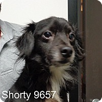 Adopt A Pet :: Shorty - baltimore, MD