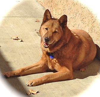 Jindo Mix Dog for adoption in Los Angeles, California - Handsome Diesel