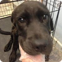 Adopt A Pet :: BLACK LAB MALE - Pompton lakes, NJ