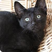 Adopt A Pet :: Dickory - Marietta, GA