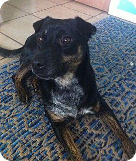 Terrier (Unknown Type, Medium) Mix Dog for adoption in Schertz, Texas - Lisa PB