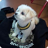 Adopt A Pet :: Lolly - Santa Rosa, CA
