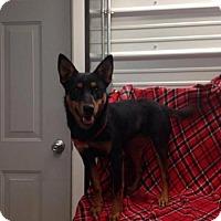 Adopt A Pet :: Bonnie Aussie - Westminster, MD