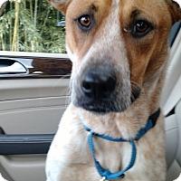 Adopt A Pet :: Ginger - Lebanon, CT