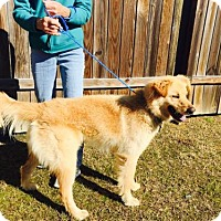 Adopt A Pet :: Goldie - Matthews, NC