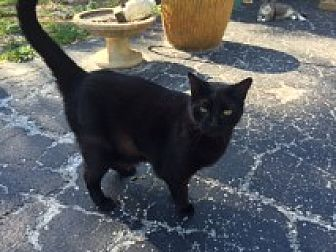 Domestic Shorthair Cat for adoption in Naples, Florida - Babs