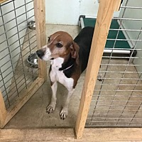 Treeing Walker Coonhound Mix Dog for adoption in Tuskegee, Alabama - Felicity