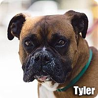 Adopt A Pet :: Tyler - Encino, CA