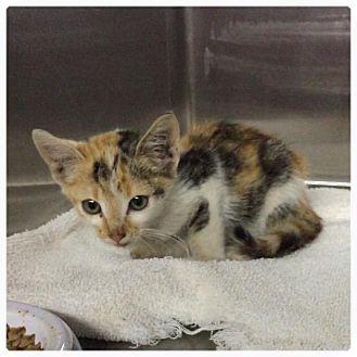 Calico Kitten for adoption in Comanche, Texas - Calico