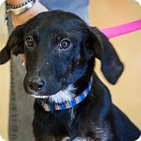 Adopt A Pet :: Liza - Hillside, IL