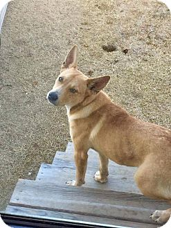 Basenji Dog for adoption in Scottsboro, Alabama - Scruffy