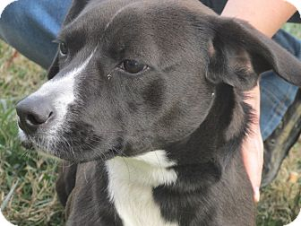 Labrador Retriever/Border Collie Mix Puppy for adoption in Germantown, Maryland - Bojangles