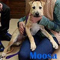 Terrier (Unknown Type, Medium)/Labrador Retriever Mix Dog for adoption in Orangeburg, South Carolina - Moosa