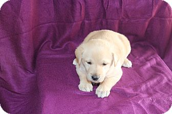 Labrador Retriever Mix Puppy for adoption in Huntsville, Alabama - Gunner