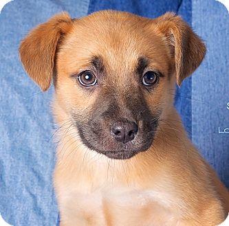German Shepherd Dog/Labrador Retriever Mix Puppy for adoption in Cincinnati, Ohio - Spencer