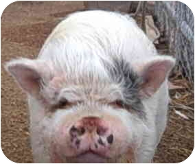 Pig (Potbellied) for adoption in Las Vegas, Nevada - Babe