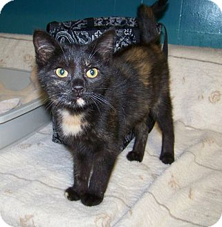 Domestic Shorthair Kitten for adoption in Dover, Ohio - Tango