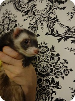 Ferret for adoption in Davie, Florida - Rugby