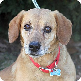 Beagle Mix Dog for adoption in Springfield, Illinois - Moses