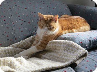 Domestic Shorthair Cat for adoption in Portland, Maine - Reilly