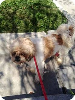 Shih Tzu Mix Dog for adoption in Houston, Texas - Rascal