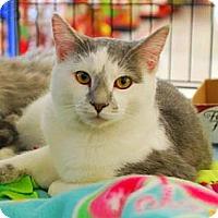 Adopt A Pet :: Cricket - Merrifield, VA