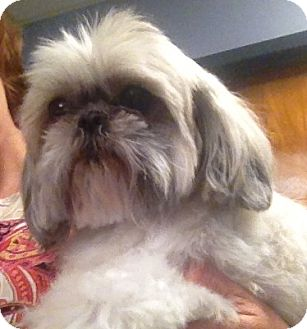 shih tzu rescue va ginger adopted dog richmond va shih tzu mix 1533